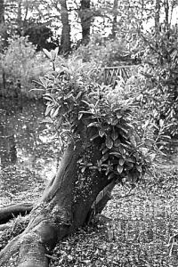 LE3183_REGROWTH_ON_CUT_TREE_STUMP_OF_PRUNUS_LAUROCERASUS