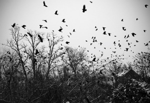 crows-118_0181 (1)